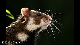 L'APELE oeuvre pour la sauvegarde du grand hamster @TvLocale_fr